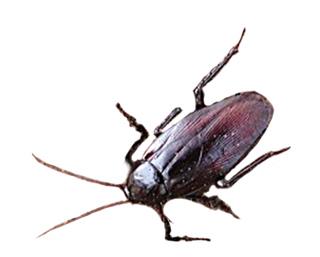 クロゴキブリ クロゴキブリ ゴキブリ駆除・害虫駆除・業者 東京 神奈川 [サンユーマック] 駆除